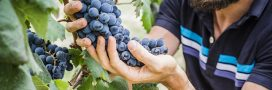 Vers des vignes françaises naturellement sans pesticides?