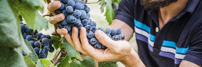 Vers des vignes françaises naturellement sans pesticides ?