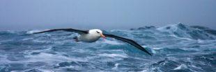 Pêche illégale : des albatros espions pour surveiller les bateaux