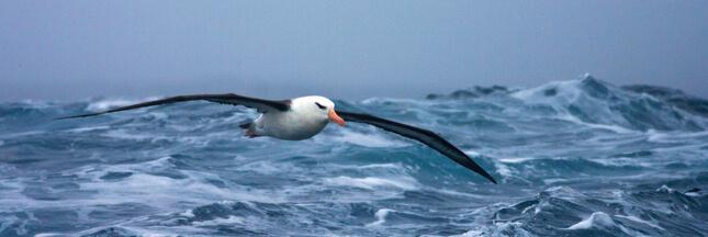 Pêche illégale: des albatros espions pour surveiller les bateaux