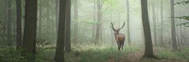 Black, un célèbre cerf, abattu lors d'une chasse à courre dans l'Oise