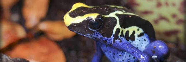 Dendrobates - Les grenouilles préférées des amateurs de terrariophilie