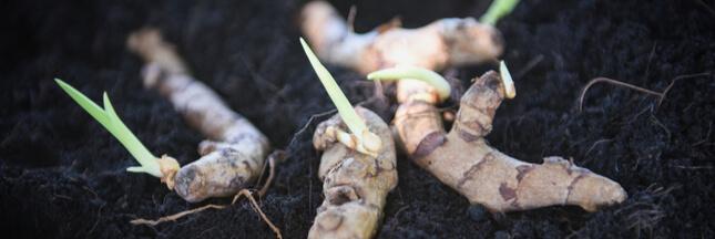 Comment faire pousser du gingembre chez soi