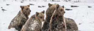Sale temps pour l'hibernation des ours en Ukraine !
