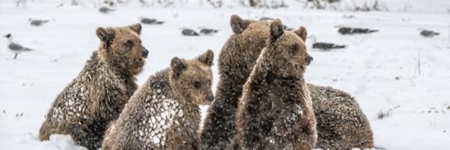 Sale temps pour l'hibernation des ours en Ukraine!