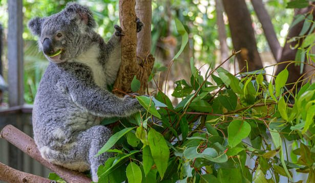 cryogénie espoir pour les koalas