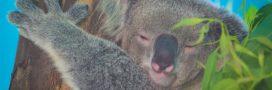 Incendies en Australie – Quand donner à boire aux koalas les tue