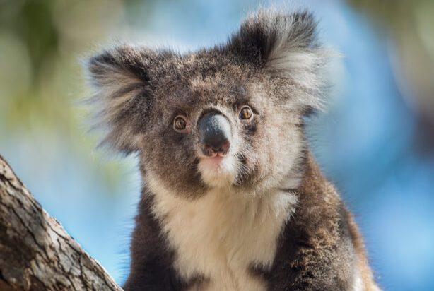 cryogénie espoir koalas