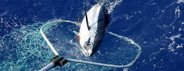 thon rouge label pêche durable