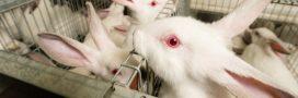 L'Autorité européenne de sécurité des aliments dénonce l'élevage de lapins en cage