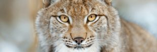 Lynx abattu dans les Vosges - Les Parcs Naturels appellent à une réaction forte !