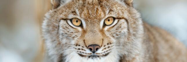 Lynx abattu dans les Vosges – Les Parcs Naturels appellent à une réaction forte!