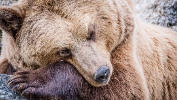 hibernation ours ukraine