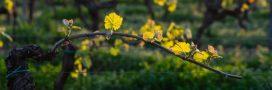 Pesticides dans les vignes: comment les combattre?