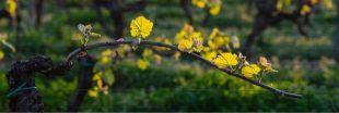 Pesticides dans les vignes : comment les combattre ?