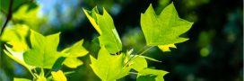 OGM – Des arbres génétiquement modifiés pour une meilleure qualité de l'air?