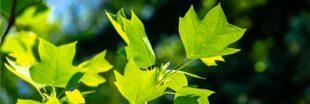 OGM - Des arbres génétiquement modifiés pour une meilleure qualité de l'air ?