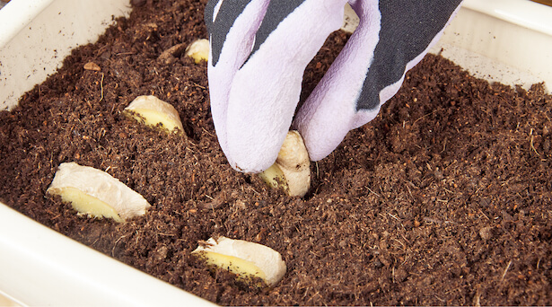 planter du gingembre