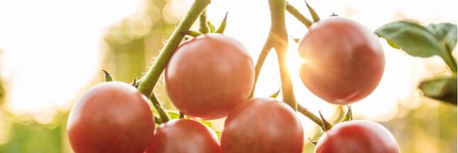 La tomate va-t-elle disparaitre de nos jardins ?