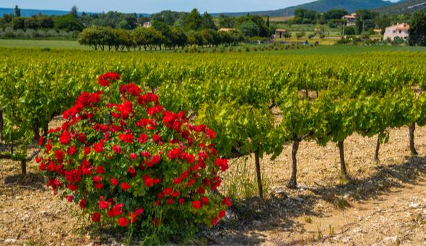 pesticides dans les vignes
