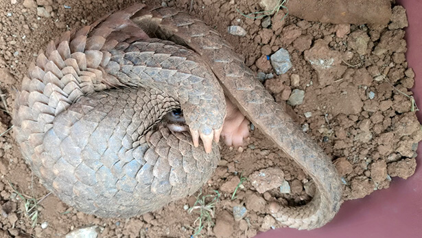 pangolin animaux sauvages chine