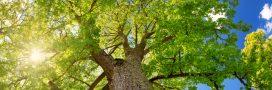 Aubier de tilleul: La détox douce mais puissante