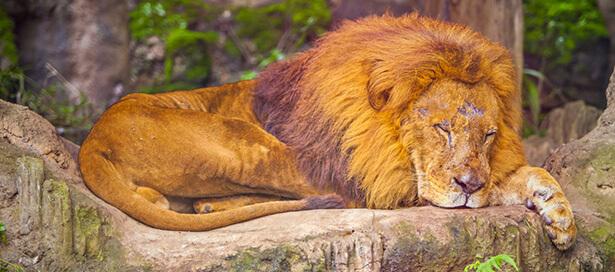 braconnage lions
