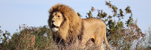 Les lions des sanctuaires, nouvelle cible des braconniers