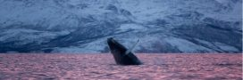 L'islande a renoncé à chasser la baleine en 2019
