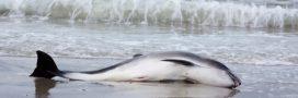 Jamais le nombre de dauphins échoués n'a été aussi élevé en France