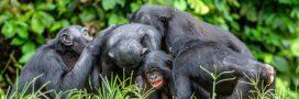 Si les Hommes vivaient comme des bonobos…