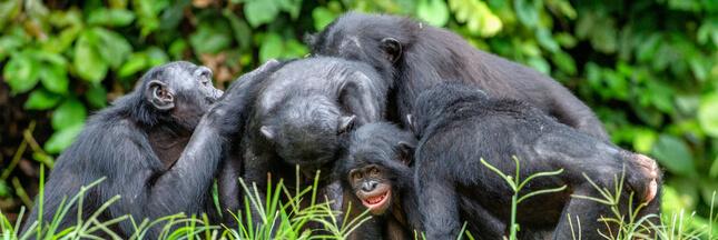 Si les humains vivaient comme des bonobos...