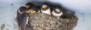 Fabriquez des nids pour faire revenir les hirondelles
