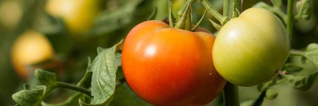 Un nouveau virus s'attaque aux tomates