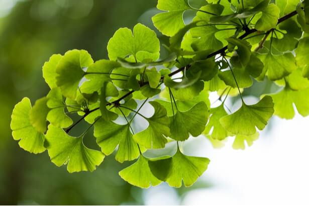 plantes acouphenes