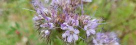 Comment procéder pour semer des engrais verts?