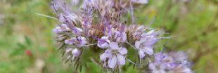 Comment procéder pour semer des engrais verts ?