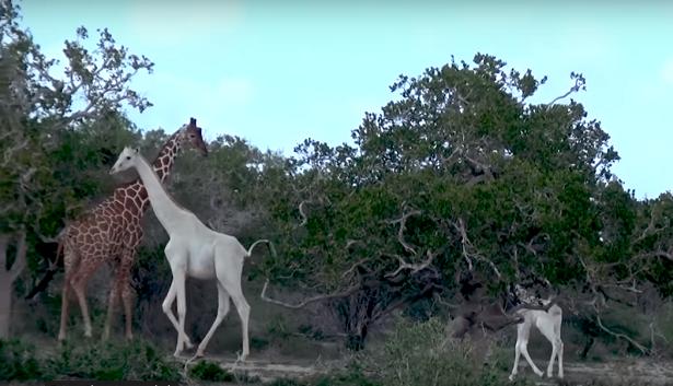 girafe blanche kenya