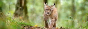 Pendant que certains sont confinés, d'autres tuent du lynx dans le Jura !