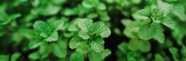 Quelles plantes cultiver pour faire ses propres tisanes?