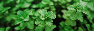 Quelles plantes cultiver pour faire ses propres tisanes ?