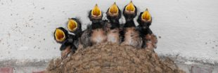 Comment éviter les désagréments dus aux nids d'hirondelles