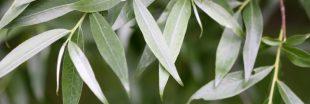 Le saule blanc, l'autre aspirine végétale!