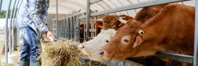 Grève des éleveurs : la France bientôt en manque de steaks ?