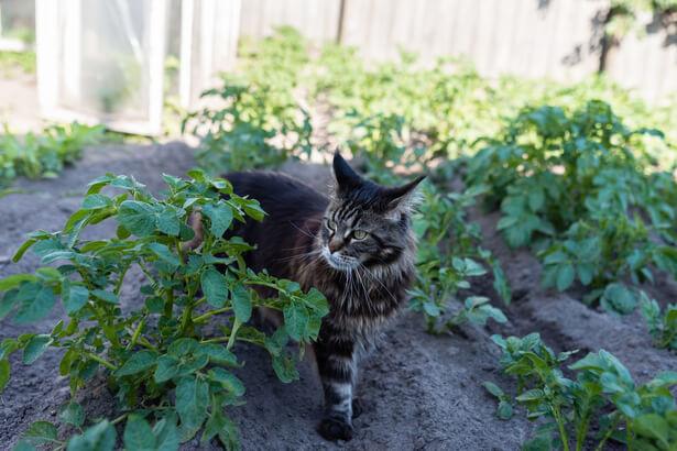 comment se débarrasser des chats au potager