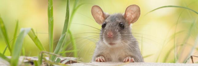 Si les humains vivaient comme des rats…