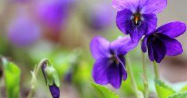 Les violettes: de délicats pétales gorgés de bienfaits