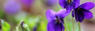 Les violettes : de délicats pétales gorgés de bienfaits