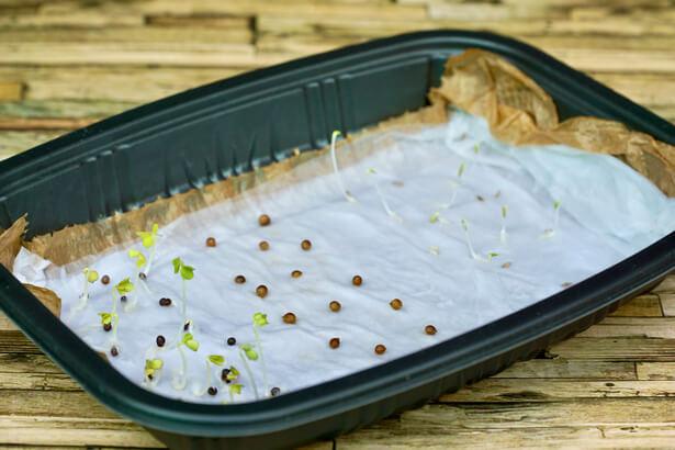 germination graines anciennes