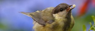 Confinement : pourquoi il ne faut pas nourrir les oiseaux